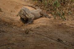 Дракон Komodo защищая гнездо близко к фотографу Стоковая Фотография RF