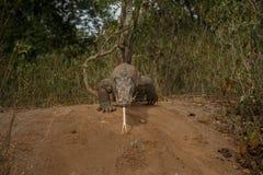 Дракон Komodo защищая гнездо близко к фотографу Стоковые Изображения
