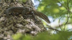 Дракон Komodo младенца пряча на дереве Стоковые Изображения