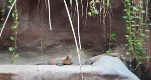 Дракон Komodo на зоопарке Praha Стоковые Изображения RF