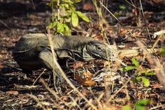 Дракон Komodo на острове Rinca, национальном парке Komodo, Индонезии стоковые изображения