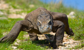 Дракон Komodo на том основании Индонезия Национальный парк Komodo Стоковое фото RF