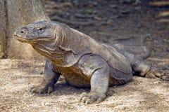 Дракон Komodo, остров Komodo, Индонезия Стоковые Изображения