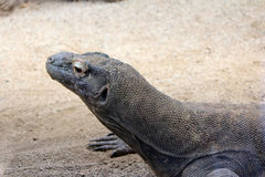 Дракон Komodo, одичалое Reptil, живая природа Стоковые Изображения