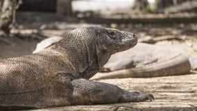 Дракон Komodo сидит при свои протягиванные оружия Стоковые Фото