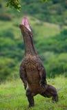 Дракон Komodo стоящая стойка на их задних ногах Интересная перспектива Низкая стрельба пункта Индонезия стоковые фото