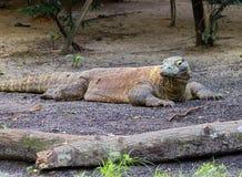 Дракон Komodo Стоковые Изображения RF