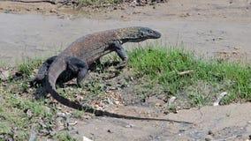 Дракон Komodo Стоковое фото RF