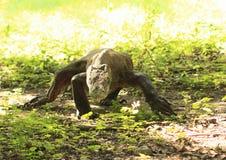 Дракон Komodo Стоковые Фотографии RF