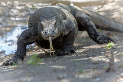 Дракон Komodo Стоковое Изображение