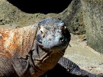 Дракон Komodo Стоковое Изображение RF