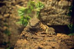 Дракон Komodo Стоковая Фотография RF