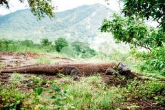 Дракон Komodo, komodoensis Varanus, национальный парк Komodo, Flores, Индонезия Стоковое фото RF