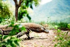Дракон Komodo, komodoensis Varanus, национальный парк Komodo, Flores, Индонезия Стоковые Фотографии RF