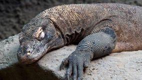 Дракон Komodo, komodoensis Varanus видеоматериал