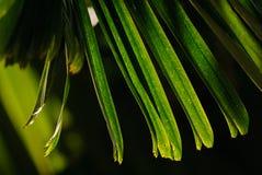 Драматические свет и тень зеленых leavs ладони с естественным солнечным светом Стоковая Фотография RF