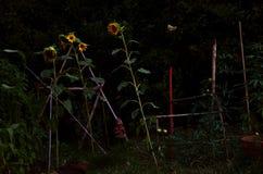 Драматические солнцецветы Стоковые Изображения RF