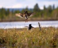 Драчливые красивые 7 Бой Ruffs в болоте Стоковые Фотографии RF
