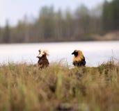 Драчливые красивые 6 Бой Ruffs в болоте Стоковые Фотографии RF