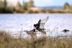 Драчливые красивые 3 Бой Ruffs в болоте Стоковые Изображения RF