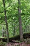 древесина большого мертвого дуба старая Стоковая Фотография RF