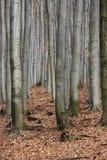 древесина бука Стоковые Фото