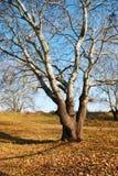 древесина вала осени одиночная Стоковые Изображения