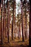 древесина вала сосенки Стоковая Фотография RF