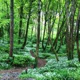 Древесина леса выходит зеленый цвет деревьев стоковые фото