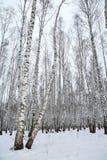 древесина зимы России березы Стоковые Изображения RF