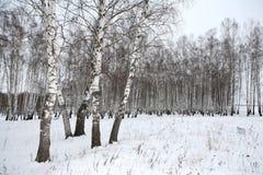 древесина зимы России березы Стоковое фото RF