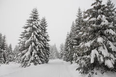 древесина зимы сосенки пущи Стоковое Фото