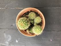 Древесина кактуса, кактус на деревянном натюрморте естественном Стоковое фото RF