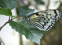 древесина нимфы листьев бабочки гигантская Стоковая Фотография