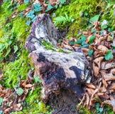 Древесина пня в лесе Стоковая Фотография
