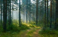 древесина сосенки утра стоковое изображение rf