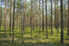 древесина сосенки Стоковое Изображение