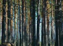 древесина сосенки Стоковые Изображения