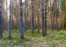 Древесина сосны в апреле Стоковая Фотография