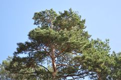 Древесина сосны в ярком солнечном дне Стоковое фото RF