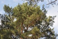 Древесина сосны в ярком солнечном дне Стоковые Фото