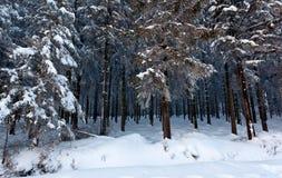 Древесина сосны снега зимы, высокие фены, Бельгия Стоковое Изображение