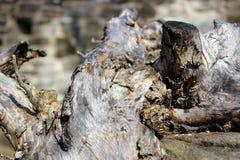 Древесина узелка стоковые изображения rf