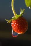 древесина ягоды Стоковое Фото