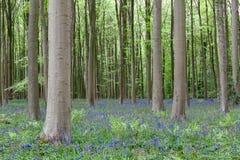 Древесина Bluebell стоковые фотографии rf