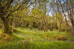 Древесина Bluebell Стоковая Фотография RF