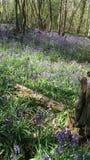 Древесина Bluebell Стоковые Изображения RF