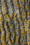 древесина orchil Стоковая Фотография RF