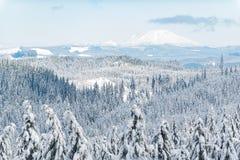 Древесина Snowy сосны растя на утесе Стоковая Фотография