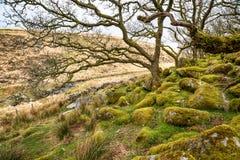 Древесина Wistman на Dartmoor стоковые изображения rf